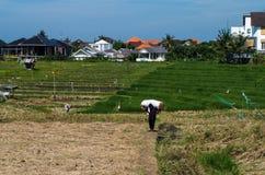 Agricoltore indonesiano che porta un sacco di riso Immagini Stock