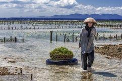 Agricoltore indonesiano di signora che porta le alghe raccolte in un canestro dal mare alla sua casa per l'essiccamento, Nusa Pen Fotografie Stock