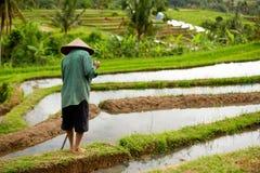 Agricoltore indonesiano sul giacimento del riso Fotografia Stock