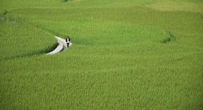 Agricoltore lavorante del riso Fotografie Stock
