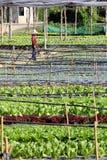 Agricoltore lavorante dell'azienda agricola di verdure organica Immagine Stock Libera da Diritti