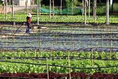 Agricoltore lavorante dell'azienda agricola di verdure organica Immagini Stock