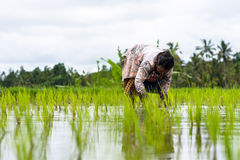 Agricoltore lavorante Wife Jatiluwih del riso Immagine Stock Libera da Diritti