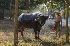 Agricoltore locale asiatico che bagna il bufalo Fotografie Stock
