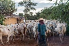 Agricoltore locale e un grande gregge del bestiame Fotografia Stock Libera da Diritti