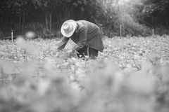 Agricoltore locale tailandese che raccoglie una patata dolce (ignami) in un campo, fil Fotografia Stock Libera da Diritti