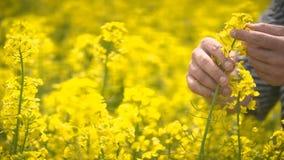 Agricoltore maschio in Canola d'esame coltivato seme di ravizzone del giacimento agricolo del seme oleifero video d archivio