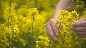 Agricoltore maschio in Canola d'esame coltivato seme di ravizzone del giacimento agricolo del seme oleifero stock footage