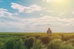 Agricoltore maschio che cammina attraverso un giacimento di grano verde Immagine Stock