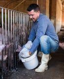 Agricoltore maschio che dà alimento appallottolato ai maiali Immagine Stock