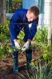 Agricoltore maschio che lega i rami dell'uva Fotografia Stock
