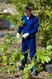 Agricoltore maschio che lega i rami dell'uva Immagini Stock