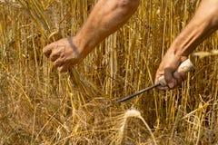 Agricoltore maschio che posa nel giacimento di grano coltivato Immagine Stock Libera da Diritti
