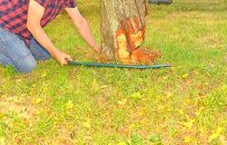 Agricoltore maschio che sega vecchio albero Albero da frutto invecchiato mezzo di taglio dell'uomo giù Uomo maturo, giardiniere d Fotografie Stock