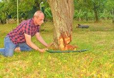 Agricoltore maschio che sega vecchio albero Albero da frutto invecchiato mezzo di taglio dell'uomo giù Uomo maturo, giardiniere d Immagine Stock Libera da Diritti