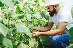 Agricoltore maschio che seleziona i cetrioli freschi dal suo giardino della serra Immagine Stock