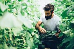 Agricoltore maschio che seleziona i cetrioli freschi dal suo giardino della serra Fotografia Stock Libera da Diritti