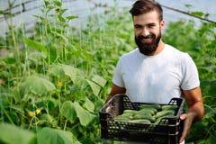 Agricoltore maschio che seleziona i cetrioli freschi dal suo giardino della serra Fotografie Stock Libere da Diritti