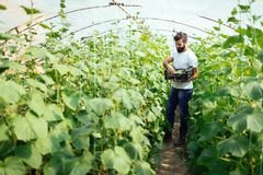Agricoltore maschio che seleziona i cetrioli freschi dal suo giardino della serra Fotografia Stock