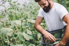Agricoltore maschio che seleziona i cetrioli freschi dal suo giardino della serra Immagine Stock Libera da Diritti
