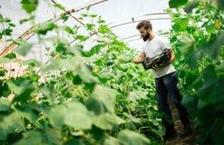 Agricoltore maschio che seleziona i cetrioli freschi dalla sua serra Fotografia Stock