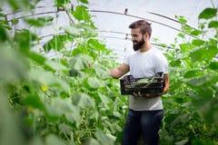 Agricoltore maschio che seleziona i cetrioli freschi dalla sua serra Fotografie Stock Libere da Diritti