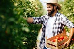 Agricoltore maschio che seleziona i pomodori freschi dal suo giardino della serra Fotografie Stock Libere da Diritti