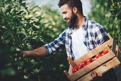 Agricoltore maschio che seleziona i pomodori freschi dal suo giardino della serra Immagine Stock Libera da Diritti