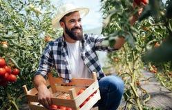 Agricoltore maschio che seleziona i pomodori freschi dal suo giardino della serra Fotografie Stock