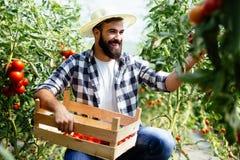 Agricoltore maschio che seleziona i pomodori freschi dal suo giardino della serra Fotografia Stock Libera da Diritti