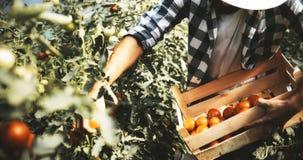 Agricoltore maschio che seleziona i pomodori freschi dal suo giardino della serra Immagini Stock