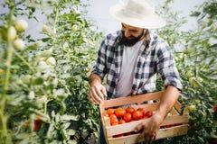 Agricoltore maschio che seleziona i pomodori freschi dal suo giardino della serra Immagine Stock