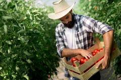Agricoltore maschio che seleziona i pomodori freschi dal suo giardino della serra Fotografia Stock