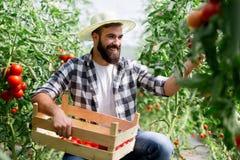 Agricoltore maschio che seleziona i pomodori freschi dal suo giardino della serra Immagini Stock Libere da Diritti