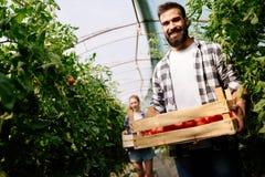 Agricoltore maschio felice attraente che lavora nella serra Immagine Stock