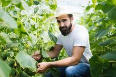 Agricoltore maschio felice attraente che lavora nella serra Immagini Stock