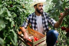 Agricoltore maschio felice attraente che lavora nella serra Fotografia Stock Libera da Diritti