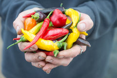 Agricoltore maschio Holding Mixed Chillis in mani a coppa Fotografia Stock