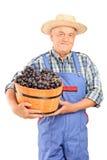 Agricoltore maturo che giudica un secchio pieno dell'uva Fotografia Stock