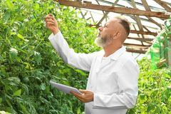 Agricoltore maturo che utilizza compressa nella serra Fotografia Stock