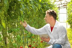 Agricoltore maturo che utilizza compressa nella serra con i pomodori Immagine Stock Libera da Diritti
