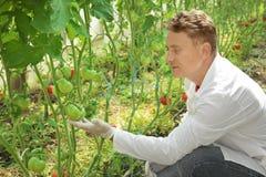 Agricoltore maturo con i pomodori in serra Fotografie Stock