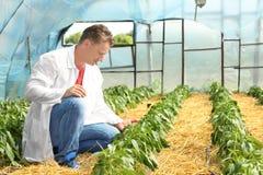 Agricoltore maturo in serra Fotografia Stock