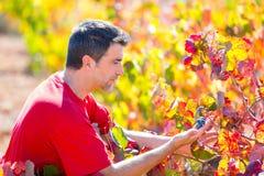 Agricoltore Mediterraneo della vigna che controlla le foglie dell'uva Immagine Stock