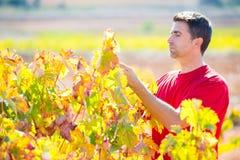 Agricoltore Mediterraneo della vigna che controlla le foglie dell'uva Fotografia Stock
