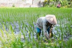 Agricoltore Near Ubud del riso in Indonesia Immagine Stock Libera da Diritti