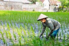 Agricoltore Near Ubud del riso in Indonesia Immagini Stock