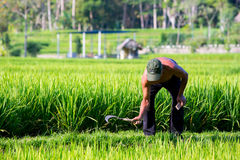 Agricoltore Near Ubud del riso in Indonesia Fotografie Stock
