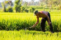 Agricoltore Near Ubud del riso in Indonesia Fotografia Stock Libera da Diritti