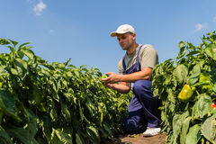 Agricoltore nei giacimenti del pepe Fotografia Stock